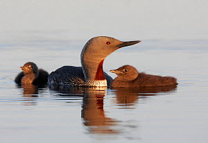 Red-throated Diver (Gavia stellata) adult with two young chicks on water, Vaala, Finland, June  -  Markus Varesvuo