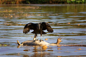 Black vulture (Coragyps atratus) standing on dead, bloated Caiman (Cayman jacare) in Three Brothers river, Pantanal, Brazil  -  Piper Mackay