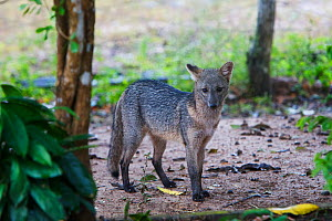 Crab-eating fox (Cerdocyon thous) in the Pantanal, Brazil.  -  Piper Mackay