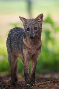 Crab-eating fox (Cerdocyon thous) in the Pantanal, Brazil  -  Piper Mackay