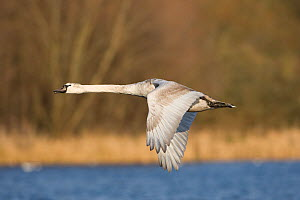 Mute swan (Cygnus olor) flying low over water, with trees in background, Whitlingham CP, Norfolk, UK.  -  Robin Chittenden