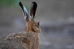 Brown Hare (Lepus europaeus) rear view, Spaldington, Yorkshire, UK. August  -  Robin Chittenden