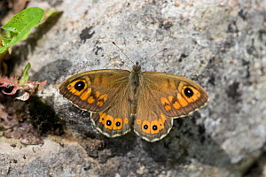 Large wall brown butterfly (Lasiommata maera), sunning on rock with its wings open, Vercors, France. - Robin Chittenden