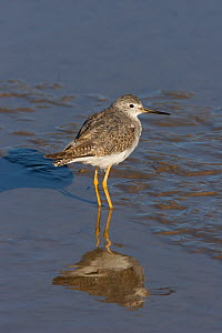 Lesser yellowlegs (Tringa flavipes), wading in shallow water during its first winter, Thornham, Norfolk, UK.  -  Robin Chittenden