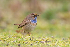 White-spotted bluethroat (Luscinia svecica cyanecula) male in spring, Landguard, Suffolk UK.  -  Robin Chittenden