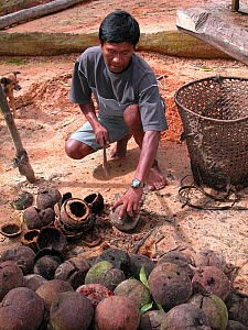 Man harvesting Brazil nuts (Bertholletia excelsa) Amazon Upland Rainforest, Ayapua� community, Piagacu-Purus Sustainable Development Reserve, Ayapua� Lake of Purus River, Amazonas State, Brazil. April... - Luiz Claudio Marigo