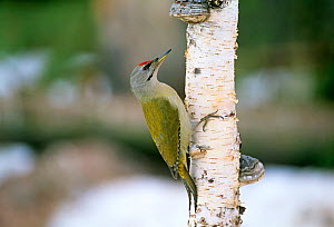 Grey-headed Woodpecker (Picus canus) adult male, Finland. Winter.  -  David Tipling