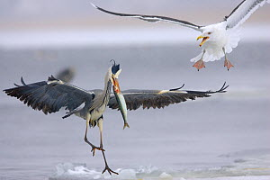 Grey heron (Ardea cinerea) with fish being attacked by Gull, Germany, winter - Dietmar Nill