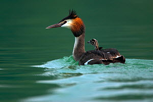 Great crested grebe (Podicepes cristatus) adult with chick on its back, Germany - Dietmar Nill