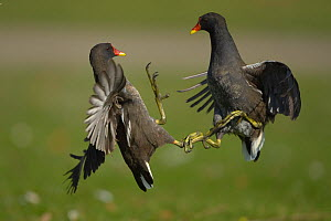 Moorhen (Gallinula chloropus) two fighting, Germany - Dietmar Nill