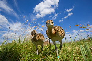 Great Bustard (otis tarda) two chicks, Germany, vulnerable species - Dietmar Nill