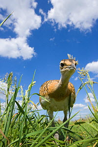 Great Bustard (Otis tarda) chick, Germany, vulnerable species - Dietmar Nill