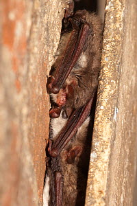 Natterer's bats (Myotis nattereri) hibernating in crack in tree, Germany - Dietmar Nill