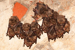 Greater mouse eared bats (Myotis myotis) roosting in building, Germany  -  Dietmar Nill