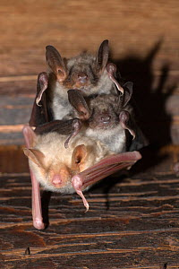 Greater mouse-eared Bat (Myotis myotis) two normal and one albino coloured, Germany  -  Dietmar Nill