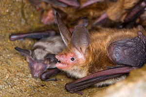 Bechstein's bat (Myotis bechsteinii) adult and juvenile bat roosting, Germany - Dietmar Nill