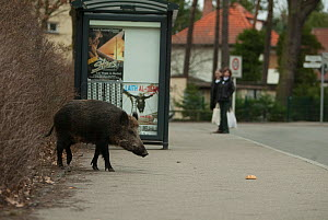 Wild boar (Sus scrofa) beside busstop in town, South Germany - Dietmar Nill