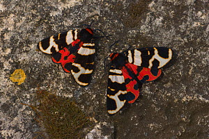 Hebe tiger-moth (Arctia festiva) pair on rock, Germany  -  Dietmar Nill