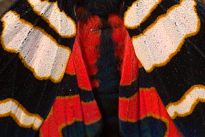 Hebe tiger moth (Arctia festiva) close up of wings, Germany  -  Dietmar Nill