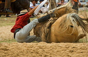 A gaucho (cowboy) falls with wild horse (Equus caballus) in the rodeo during the Fiesta de la Patria Gaucha, Tacuarembo, Uruguay, April 2008 - Kristel Richard
