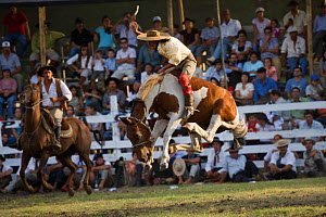 A gaucho (cowboy) tries to remain on the back of a bucking wild horse (Equus caballus) in the rodeo during the Fiesta de la Patria Gaucha, Tacuarembo, Uruguay, April 2008  -  Kristel Richard