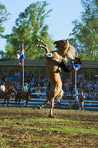 A gaucho (cowboy) tries to remain on the back of a wild horse rearing vertically (Equus caballus) in the rodeo during the Fiesta de la Patria Gaucha, Tacuarembo, Uruguay, April 2008  -  Kristel Richard