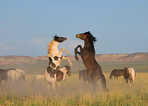 Wild horse / mustang (Equus caballus) two fighting in the McCullough Peaks, Wyoming, USA.  -  Kristel Richard