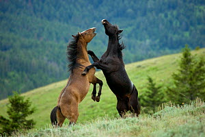 Wild horse / mustang (Equus caballus) two young mustangs play-fighting in the Pryor Mountains, Wyoming, USA.  -  Kristel Richard