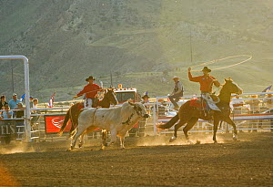 Two riders lassoo a bull outside the arena during the Extreme Bull competition, in Cody, Wyoming, USA, 2009  -  Kristel Richard