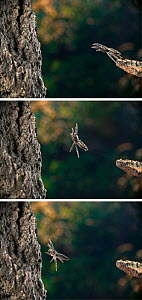 Series of Fence post jumper spider (Marpissa muscosa) sequence, showing three stages of the jump. This is the largest jumping spider found in England, UK.  -  Stephen Dalton