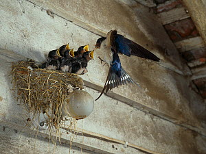 Swallow (Hirundo rustica) feeding chicks on nest build over light bulb, England, UK - Stephen Dalton