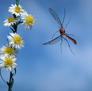 Ichneumon fly (Netelia testaceus) in flight.~This image was sent into space on board Voyager spacecrafts 1&2 alongside other works of art.  -  Stephen Dalton
