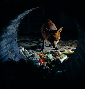 Urban red fox ( ulpes vulpes) scavenging for food in dustbin, UK  -  Stephen Dalton