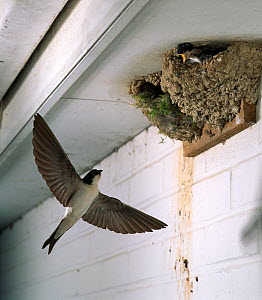 House martin (Delichon urbicum) flying to nest with chicks. UK - Stephen Dalton