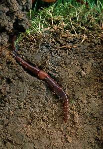 Earthworm (Lumbricus terrestris) in burrow, exposed in sectioned topsoil, England, UK - Stephen Dalton