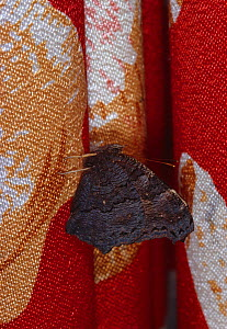 Peacock butterfly (Inachis io) hibernating on soft furnishings. England, UK. - Stephen Dalton