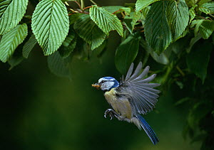 Blue tit (Parus caeruleus) in flight carrying insect prey. England, UK  -  Stephen Dalton
