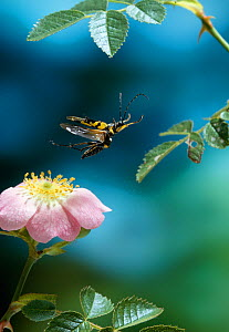 Longhorn beetle (Batus barbicornis) in flight over wild rose. uk - Stephen Dalton