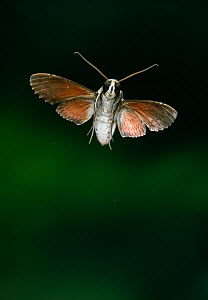 Ello sphinx moth (Erinnyis sp) in flight. Venezuelan cloudforest, South America.  -  Stephen Dalton