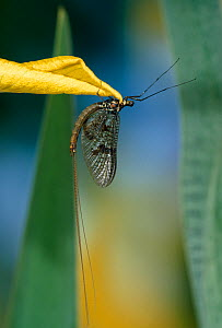 Mayfly (Ephemeroptera) at rest on flower. UK. - Stephen Dalton