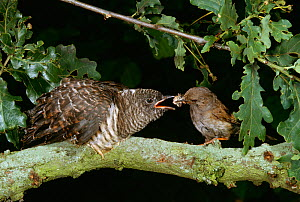 Hedgesparrow / Dunnock (Prunella modularis)feeding European cuckoo (Cuculus canorus) in oak tree, UK  -  Stephen Dalton