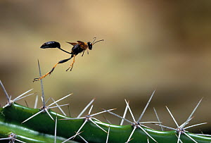 Mud dauber wasp (Sceliphron caementarium) flying over cactus spines, Everglades NP, Florida, USA - Stephen Dalton