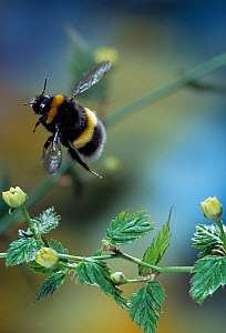 Common white tailed bumblebee (Bombus lucorum) in flight. Summer, UK  -  Stephen Dalton