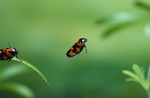 Black and red froghopper (Cercopis vulnerata) in mid-hop. England, UK - Stephen Dalton