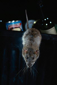 Brown rat (Rattus norvegicus) jumping from rubbish bin, UK - Stephen Dalton