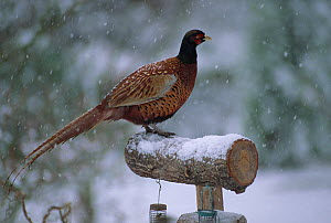 Pheasant (Phasianus colchicus) male on garden bird feeder in the snow, Winter, UK  -  Stephen Dalton