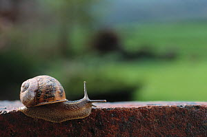 Common garden snail (Helix aspersa) on brick wall, England, UK - Stephen Dalton