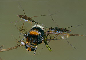 Pond skaters (Gerris lacustris) on water surface with dead bee, England, UK - Stephen Dalton