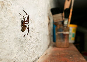 House Spider (Tegenaria domestica) on white-washed wall of shed, UK - Stephen Dalton
