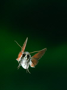 Hawk moth (Erinnyis sp) in flight. From Venezuelan cloudforest.  -  Stephen Dalton